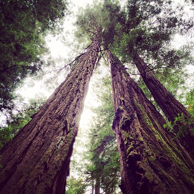 Giant beauties in Muir Woods National Park