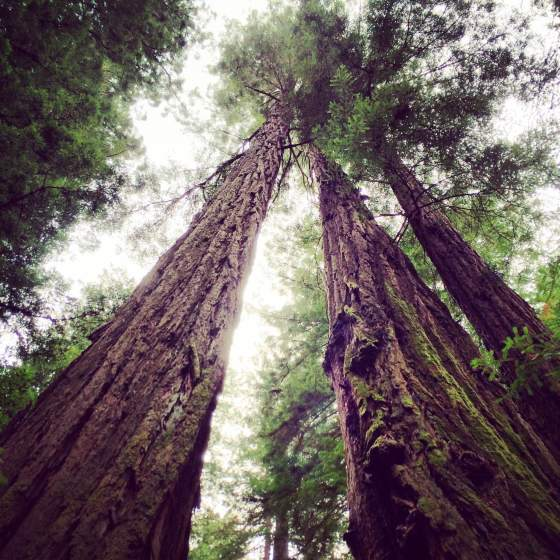 Majestic Coastal Redwoods